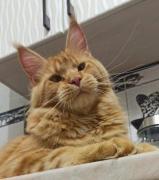 Продаються кошенята-підлітки породи мейн-кун, з родоводом